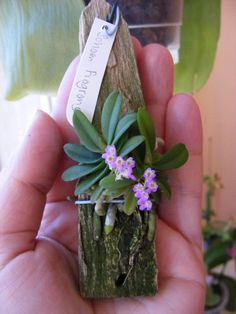 Schoenorchis fragrans - I like the tiny orchids too