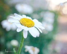 """""""Daisy Day""""- Happy white daisy print. Fine Art Print. Professionally printed upon order. My photographs are professionally printed with archival inks on premium acid-free paper, which has a luster fin"""