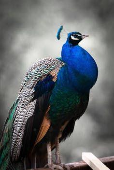 images.pexels.com photos 35598 peacock-bird-colorful-blue.jpg?h=350&auto=compress&cs=tinysrgb