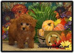 Apricot Teacup Poodle