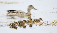 """Mallard (Anas platyrhynchos) female with ducklings, Parainen, Finland Picture: REX/Nature Picture Library""  Hehehe. I never tire of seeing this type of thing happen in picture form or in person."