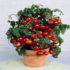 Teeny tiny tomatoes called Tiny Tim. I put three in one pot.