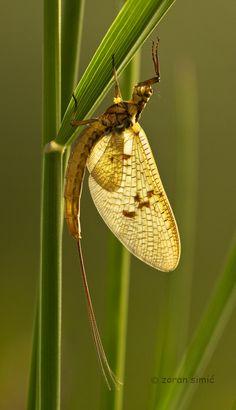 Ephemeroptera (Mayfly) by zoran simic on 500px