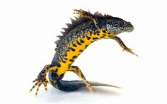 New rules will mean developers are no longer forced to down tools and relocate   every great crested newt they discover