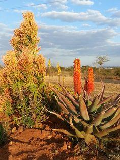 Aloe ferox July 2014