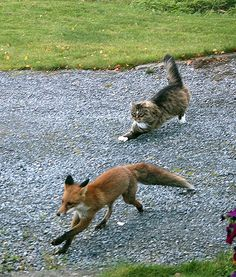 Fearless Cat Chases Fox Intruder Off His Land