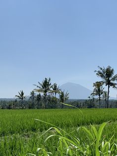 Did you know Bali grows 3 rice crops per year? And they stagger the growing seasons to give them time to plant and harvest by hand