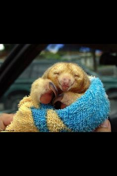 Baby sloth. How can you not like them???? Especially this smiling little guy :)