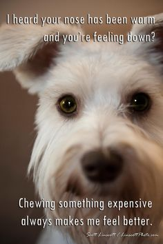 1000 images about schnauzer and lab love on pinterest