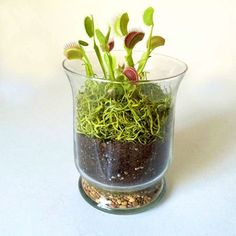 to eat for Halloween: a carnivorous plant terrarium Just in time for Halloween -- Fern's Venus' Fly Trap terrarium is available assembled or as a do-it-yourself kit. Photo: Fern / ONLINE_YESJust in time for Halloween -- Fern's Venus' Fly Trap terrarium is Decor Terrarium, Terrarium Plants, Garden Plants, Indoor Plants, House Plants, Fruit Garden, Terrarium Ideas, Flowers Garden, Venus Fly Trap Care