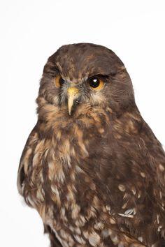 Morepork, Ninox novaeseelandiae, ruru, Nelson, New Zealand, bird, owl, taxidermy Auckland Museum CC BY