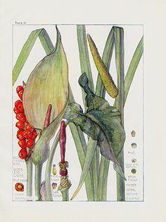 Wild Flowers of the British Isles by Harriet Isabel Adams 1907