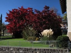 Barevne stromy (cerveny javor) a kere (rakos/bambus) na zahrade