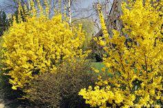 Taille en boule des hortensias à floraison jaune. Procéder après la floraison.