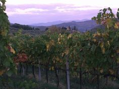 Vineyard and purple sky