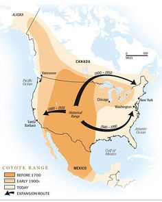 Progression of coyote range expansion throughout North America and Mexico