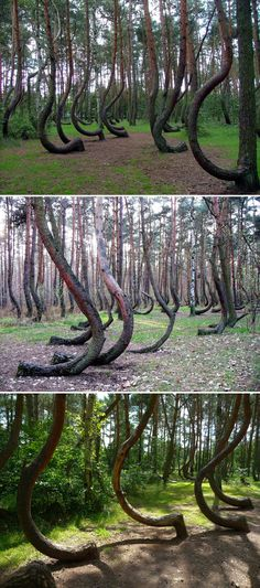 The Crooked Forest in Gryfino, Poland