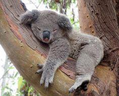 The koala, is Australia's national treasure and a rare and precious primitive arboreal in Australia. The English name Koala bear… Zoo Animals, Animals And Pets, Funny Animals, Wild Animals, The Wombats, Cute Little Animals, Cute Animal Pictures, Cute Creatures, My Animal