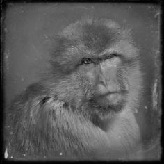 Behind Glass, black and white photographs of primates- Anne berry- these haunt me!