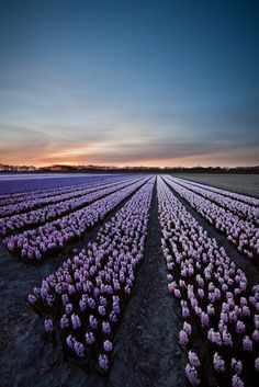 ✯ Hyacinth Field, The Netherlands The colors from the flowers are SPECTACULAR when flying into Amsterdam!