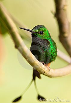 A spectacular Booted Racket-tail Hummingbird by Joan Egert, via Dreamstime