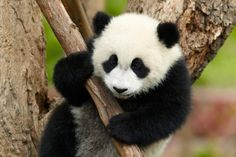 This is a selection of some of the most amazing Panda photographs out there. Will definitely make you to want to become a Panda yourself! most of them from the Panda Research Base in Chengdu. Lazy Animals, Cute Animals, Fluffy Animals, Wild Animals, Panda Mignon, Panda Love, Cute Panda Baby, Chengdu, Bored Panda