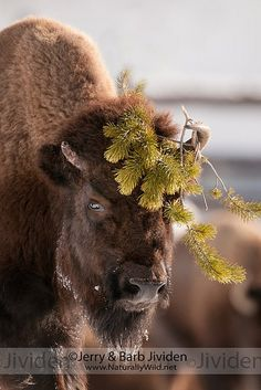 """American Bison. """"Don't you just love the hat I'm wearing for Betty Bison's wedding on Saturday?"""""""