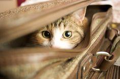 Gato e as viagens dos tutores: eles podem ser deixados sozinhos em casa?   TUDO GATO - Pra quem é curioso como eles...
