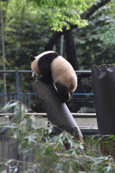 今日のパンダ(2118日目)