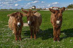 3 Anes Ile de Ré 2012 by Serge THELLIER, via Flickr ~ (donkeys on Ile de Ré, Poitou-Charentes)