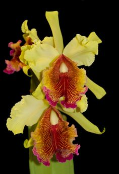 Cattleya dowiana var. aurea - Flickr - Photo Sharing!