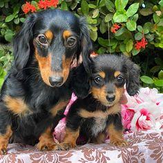 Golden Dachshund, Teacup Dachshund, Short Haired Dachshund, Cream Dachshund, Dapple Dachshund Puppy, Mini Dachshund, Daschund, Dog, Beagle Mix Puppies