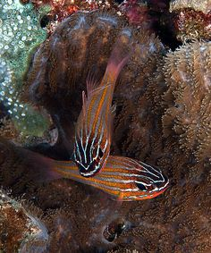 Yellow-striped cardinalfish  by Anel Van Veelen, via Flickr