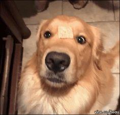 30 Momentos engraçados de cachorros loucos por comida  Leia mais: http://portaldodog.com.br/cachorros/listas/30-momentos-engracados-de-cachorros-comendo/#ixzz3BwiiUciB  Follow us: @PortaldoDog on Twitter | portaldodog on Facebook