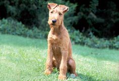 Irish Terrier He is a smart dog that quickly adapts to new situations. He'll guard his home and family members with determination. Terrier Breeds, Terriers, Scottish Deerhound, Rare Dog Breeds, Irish Terrier, The Perfect Dog, Purebred Dogs, Man And Dog, Irish Wolfhound