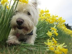 West Highland Terrier Dog Playing 'Hide and Seek' amongst the Daffodils Cairn Terrier, Terrier Dogs, Terrier Mix, Terriers, West Highland White Terrier, Dog Organization, Diy Dog Collar, Highlands Terrier, Westies