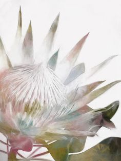 #UrbanRoad the 'Sugar Bush I' is a beautiful canvas art print and The beautiful Protea can be cooked or 'milked' to make a sweet syrup similar to maple, and was used in Africa during the 1800s. While the art of making 'Sugarbush' Flower Syrup has been largely forgotten, this sweet name is still fondly remembered. It's a glorious canvas art for modern and classic interior home decoration. http://www.urbanroad.com.au/