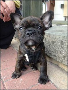I think I found our next dog  French Bulldog Puppy