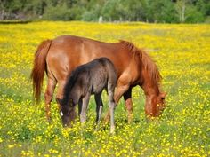 Horses and dandelions
