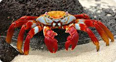 Sally Lightfoot Crab More on https://www.pinterest.com/activeadventure/ah-the-galapagos