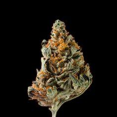 Semillas feminizadas de cannabis de la variedad Manda Haze. Genética que combina sativas sudamericanas con indica Californiana - Sakan Seeds