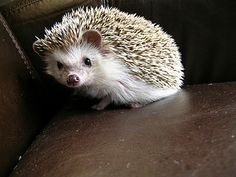 I got Hedgehog! Which Pet Should You Actually Have?