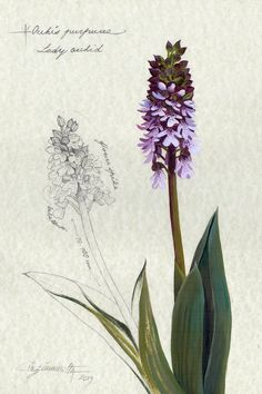 Botanical Illustration ORCHIS PURPUREA, preliminary sketch from art journal, graphite and oil on parchment paper. Botanical Drawings, Botanical Prints, Nature Drawing, Pressed Flower Art, Wildlife Art, Animal Drawings, Oeuvre D'art, Art Sketches, Les Oeuvres