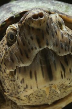 ✭ Close View of the face of a Loggerhead Musk Turtle