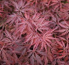 Red Dragon Maple Tree