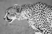 Cheetah (Acinonyx jubatus) on the prowl, close-up view, Mashatu Game Reserve, Botswana Bear Dog Breed, Dog Breeds, Cheetah Pictures, Pictures Online, Cheetahs, Game Reserve, Shutter Speed, Wildlife, Animals