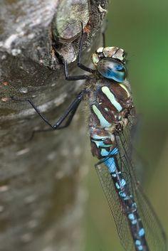 Dragonfly, via Flickr.