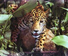 Cockscomb Wildlife Sanctuary and Jaguar Preserve, Belize National Parks, Wildlife Sanctuaries, Monuments, Natural Reserves