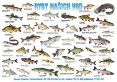 Nápady do školky: Plakát - ryby našich vod