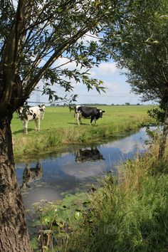 Koeien langs de Tiendweg, Oud-Alblas (Foto: Thea Plugge; juli 2015) Country Girl Life, Country Living, Summer Scenes, The Farm, Cow Art, Country Scenes, Loire, Nature Pictures, Farm Life